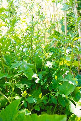 arugula in my garden